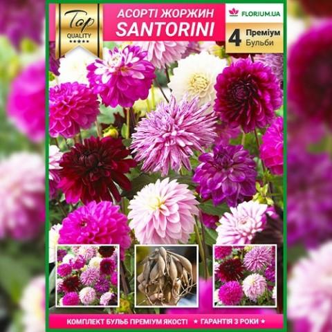 Премиум георгины Santorini (брендовая упаковка) фото