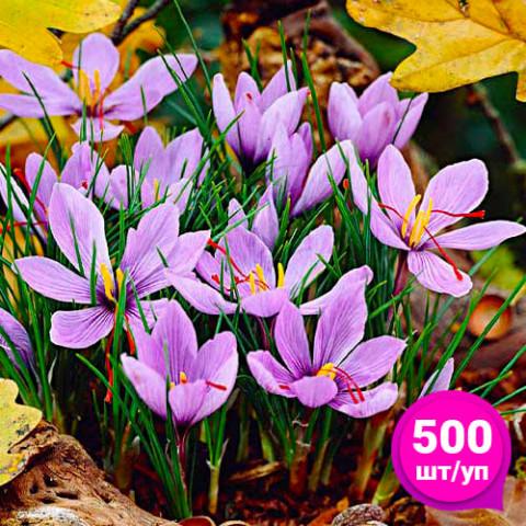 Крокус Sativus (Шафран) 500 шт/уп фото