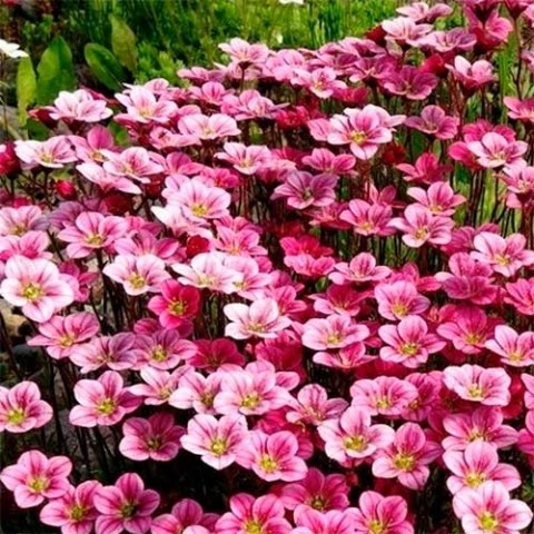 Камнеломка Pink Blossom фото