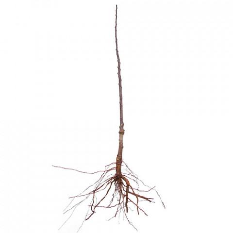 Комплект колоновидных деревьев Фруктовый Рай фото
