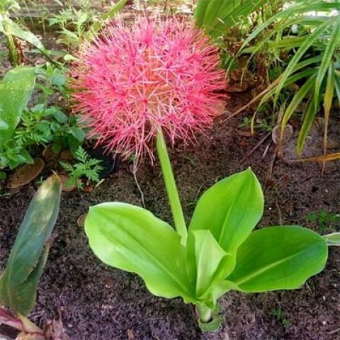 Скадоксус многоцветковый фото