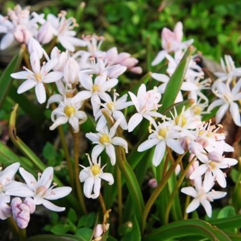 Пролеска Bifolia Alba фото
