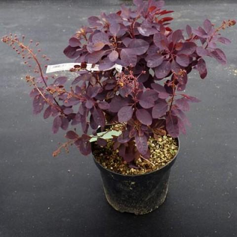 Скумпия Royal Purple фото
