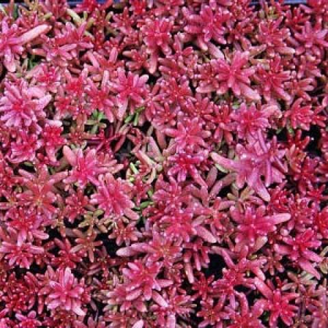 Седум Coral Carpet (рассада) фото