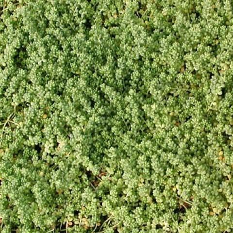 Седум Micranthum фото