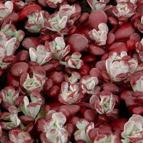 Седум Purpureum фото