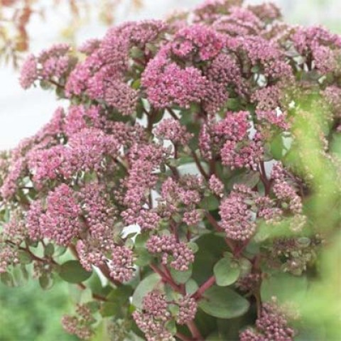 Седум Seduction Green-Pink фото