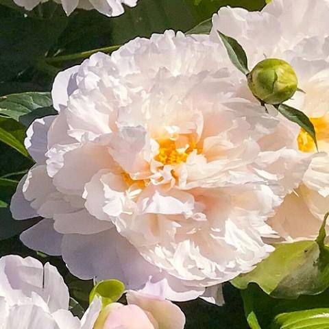 Пион Serene Pastel фото