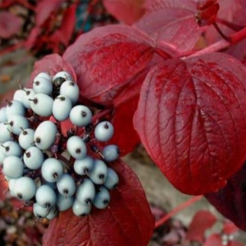 Кизил Siberian Pearles фото