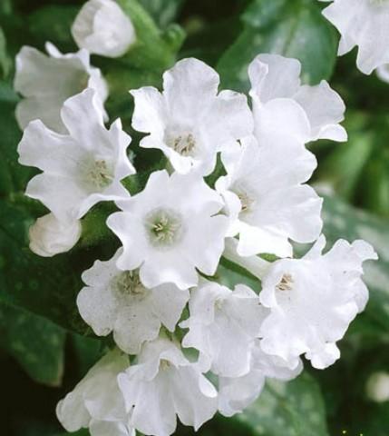 Пульмонария Sissinghurst White фото
