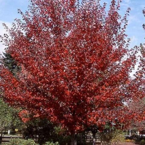 Клён красный Somerset фото