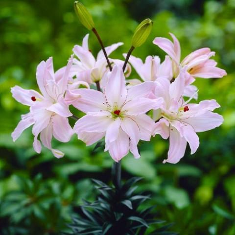Лилия Spring Pink фото