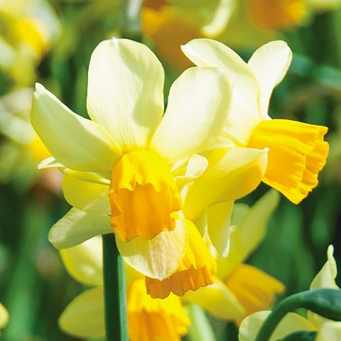Нарцисс Spring Sunshine фото