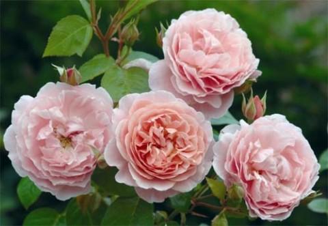 Роза Strawberry Hill фото