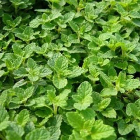 Мята Strawberry Mint фото