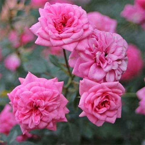 Роза Sugar Baby фото