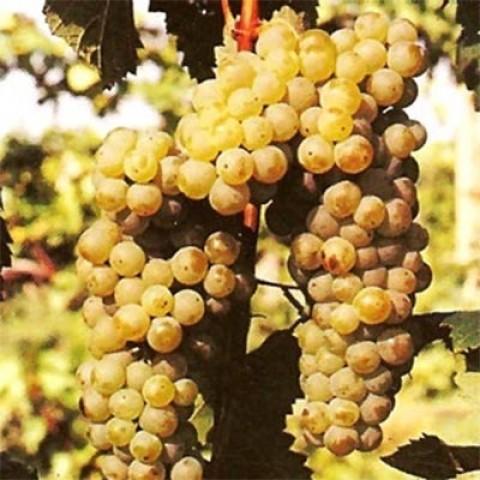 Виноград Сухолиманский фото