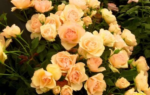 Роза Susan Daniel фото