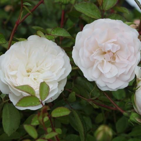 Роза Swany фото
