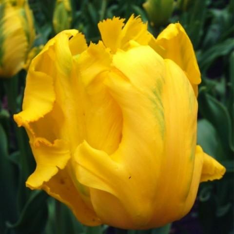 Тюльпан Texas Gold фото