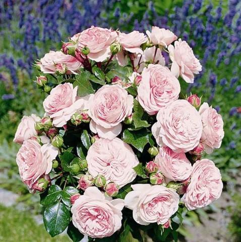 Роза Mariatheresia фото