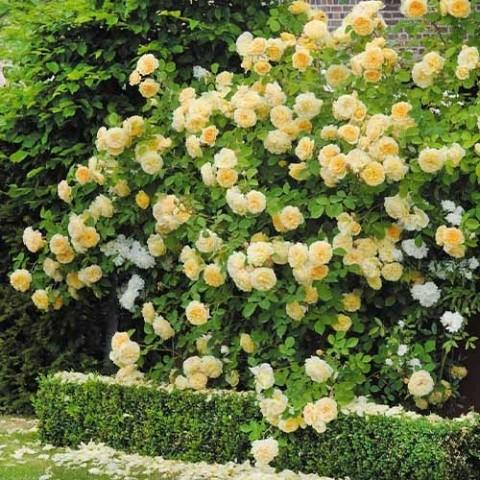 Роза Teasing Georgia фото
