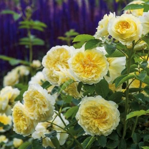 Роза The Piligrim фото