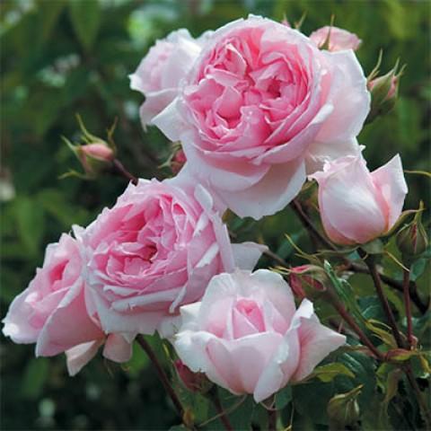 Роза The Wedgwood Rose фото
