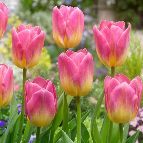 Тюльпан Tom Pouce 20 шт/уп фото