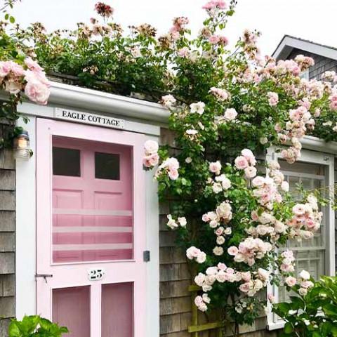 Роза New Dawn фото