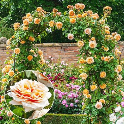 Роза Polka фото