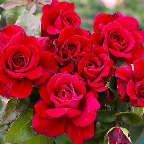 Роза Bellevue фото