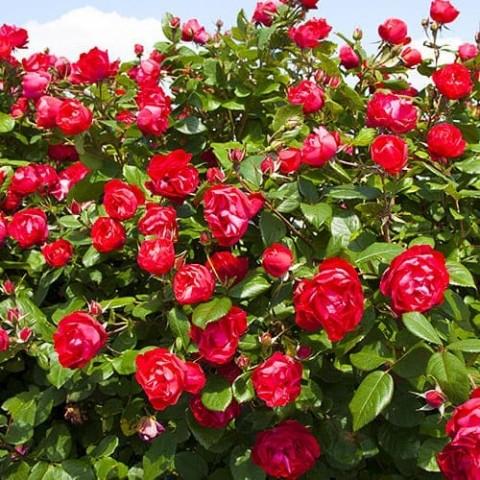 Роза Cherry Bonica фото