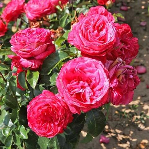 Роза Cherry Lady фото