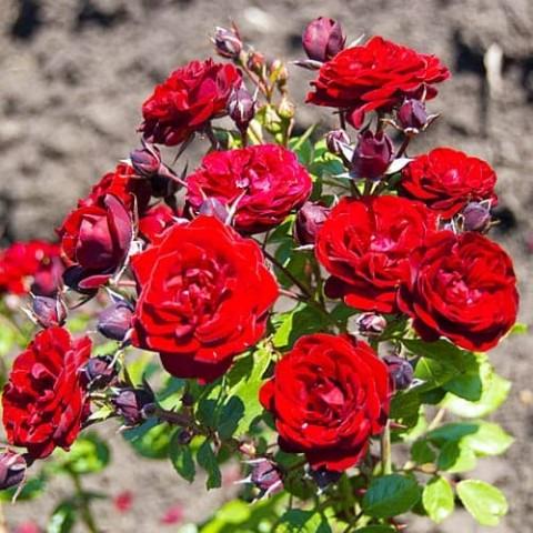 Роза Cordula фото