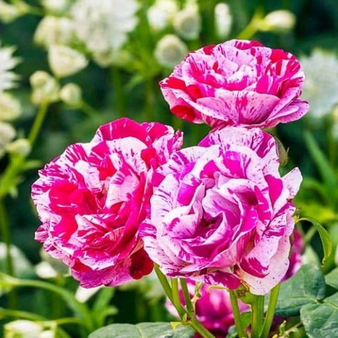 Роза Ferdinand Pichard фото