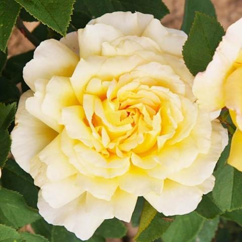 Роза Golden Silk фото