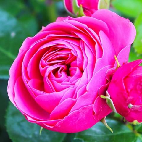 Роза Magic Rokoko фото