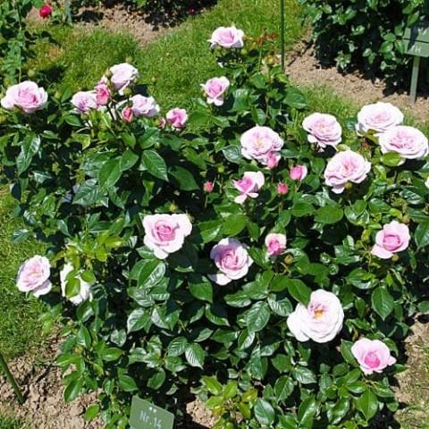 Роза Pacific Blue фото