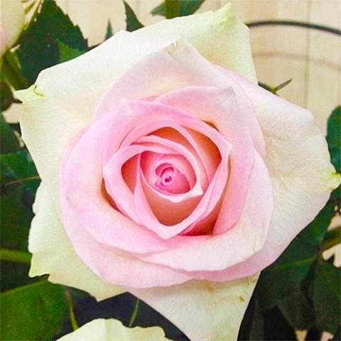 Роза Ragazza фото