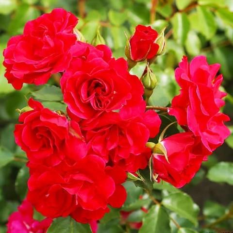 Роза Rotilia фото