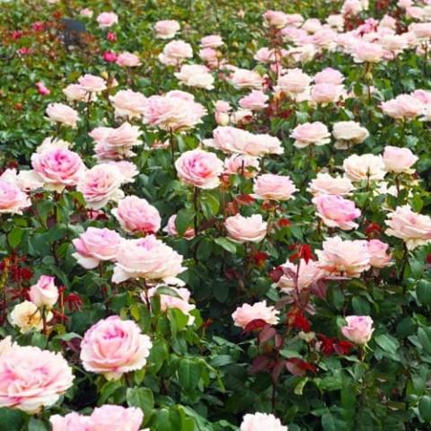 Роза Souvenir de Baden-Baden фото