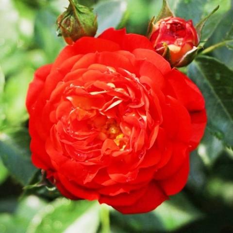 Роза Starlet Carmen фото