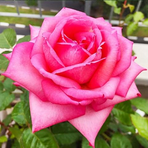 Роза Wedding Bells фото