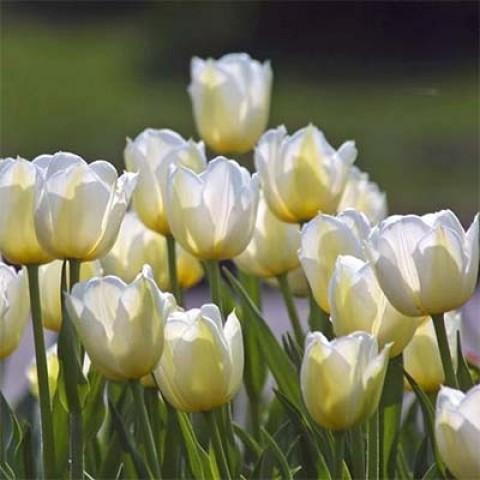 Тюльпан Angels Wish фото