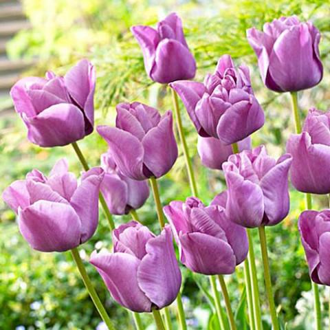 Тюльпан Bleu Aimable фото