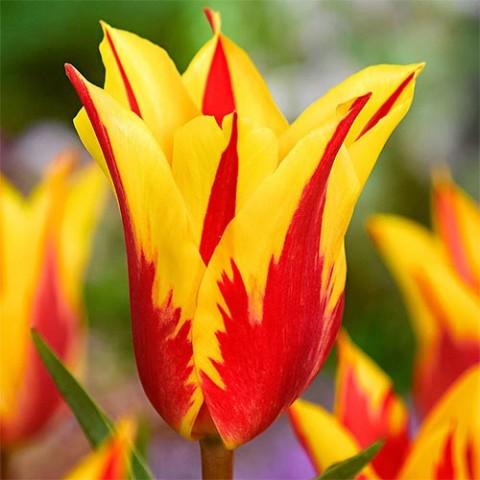Тюльпан Firework фото