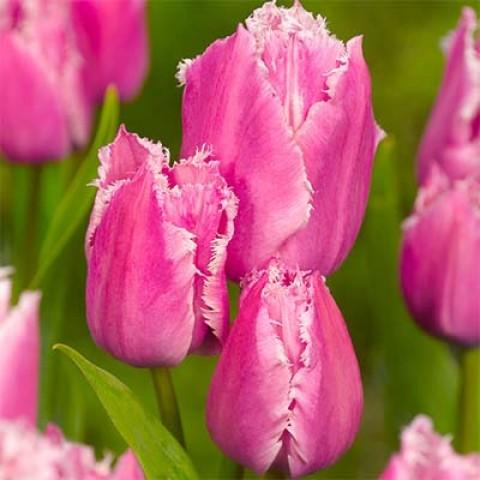 Тюльпан Fringed Family  фото