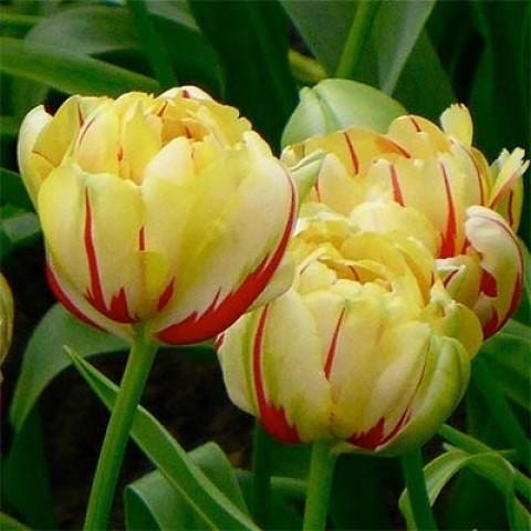 Тюльпан Glamour Unique фото