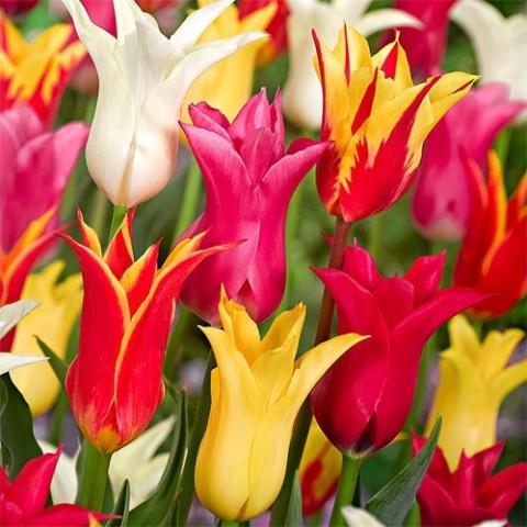 Тюльпаны Лилиецветные Микс фото